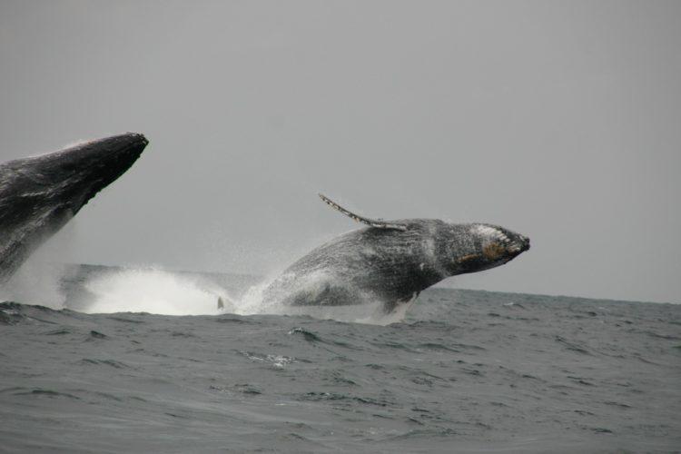 Baleines à bosse au large de l'île Mandji - Gabon
