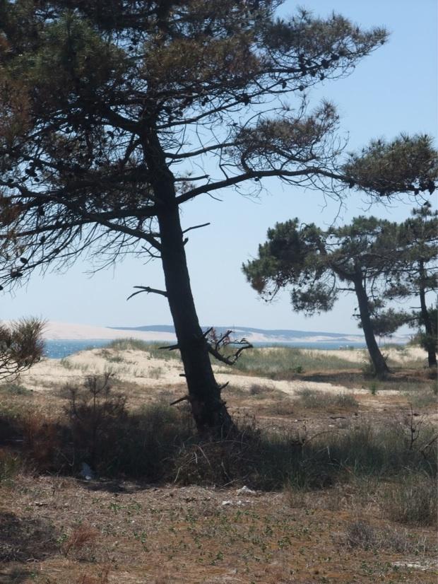 la dune derrière un pin du Mimbeau